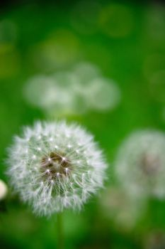 Dandelion Clock 1 by MrDic
