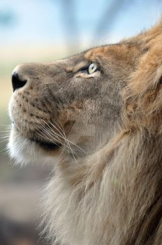 African Lion.7. by HecklingHyena