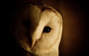 Barn Owl by The-Aperture