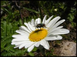 Fly on Daisy by BJM121