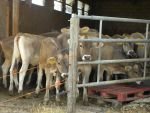 Cute cows with big ears :) by Agatje