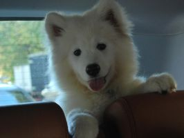 Samoyed by FeliciaInferno