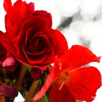 Begonia by rdalpes