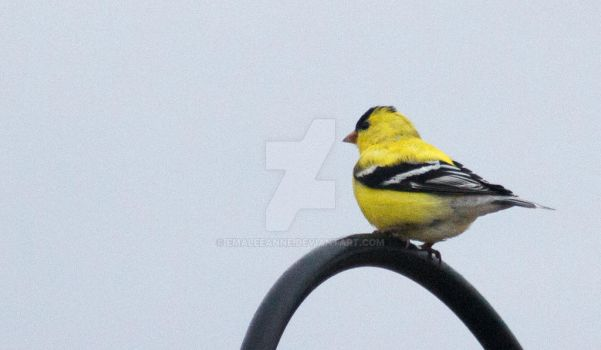 Gold finch by EmaleeAnne