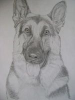 German Shepherd by MattJeevasLover
