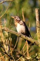 Wacholderdrossel / Fieldfare 3 by bluesgrass