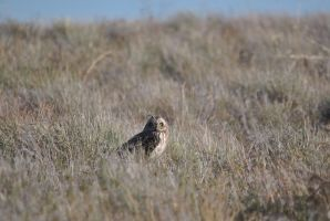 Short-eared Owl I. by swampliquor