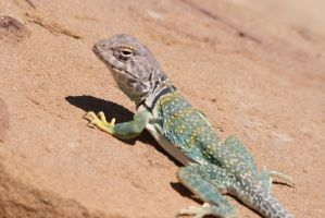 Collared Lizard - Chaco Canyon New Mexico by Shadow848327
