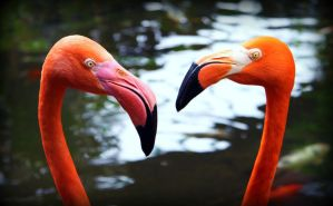 Flamingos by PascalsPhotography