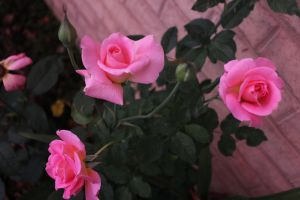 Pink Roses by BecomeOneDa