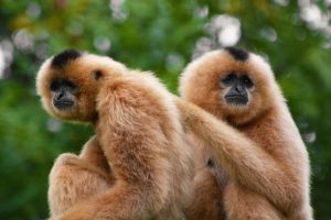 Buff Cheeked Gibbons by KrisVlad