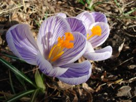First Crocuses of Spring. by Gnutzick
