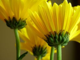Yellow Daisies 1 by edgyqueen
