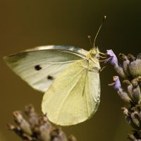 Butterfly On Lavender by LePianiste