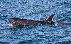 False Killer whale by Oracle88