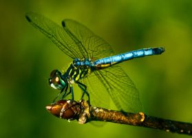 I love dragonflies by drewii57