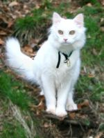 White cat 2 by NaviStock
