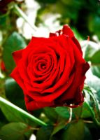 A beautiful rose by J-O-N-A-T-H-A-N