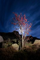 Red Tree by Moonlight by Captain-Marmote