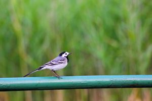 White Wagtail by panna-cotta