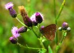 thistle and butterfly by Mittelfranke