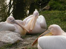 Eastern White Pelicans by YesOwl