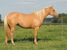 Palomino Mare by equsss-stock