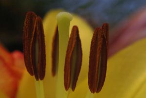 Lily Pistil and Anthers by AfricanObserver