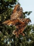 Eagle Owl with the landing by pingallery