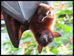 Flying Foxes by leopatra-lionfur
