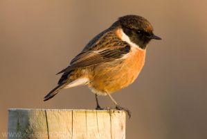 Stonechat by Albi748
