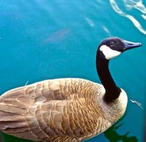 What a photogenic goose! by mayaa199313