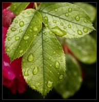 Drops on Rose Leaf by Karl-B