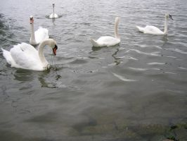 Animals - Swans 02 by Stock-gallery