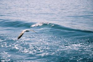 Seagull by crato