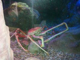 AN 9'FT JAPANESE SPIDER CRAB by lilminx29