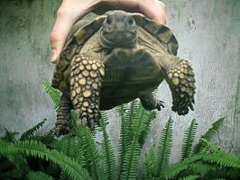 THIS IS a Tortoise by pattsy