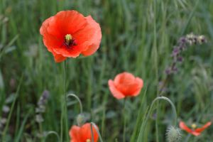 May poppies by stefeli-reloaded