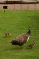 Peahen with baby chicks by FoxStox