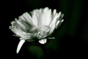 White Delight by AndySimmons