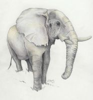Elephant by fatboygotsick