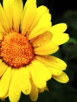 Yellow flower by amymone
