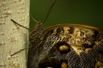 Brown Butterfly CloseUp by toshema