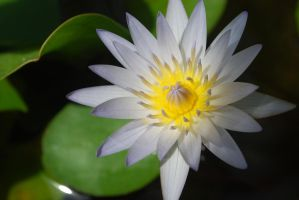 Beauty of Water Lily by Chaleecious