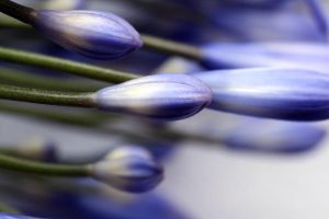 Purple Buds by KayleighOC