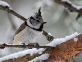 Crested Tit 4 by OldEric