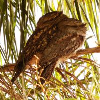Tawny frogmouth couple 1 by wildplaces