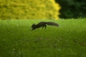 Running Squirrel by Clangston