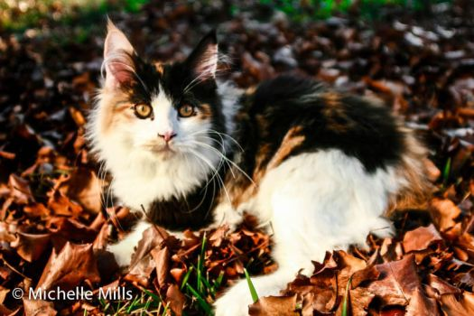 Maine Coon - Rumor out of my import male by F1hybrids