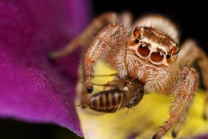 jumping spider 15 by macrojunkie
